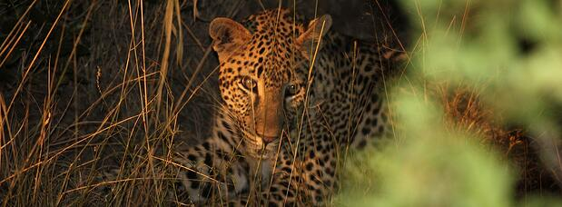 South_African_Safari_leopard.jpg