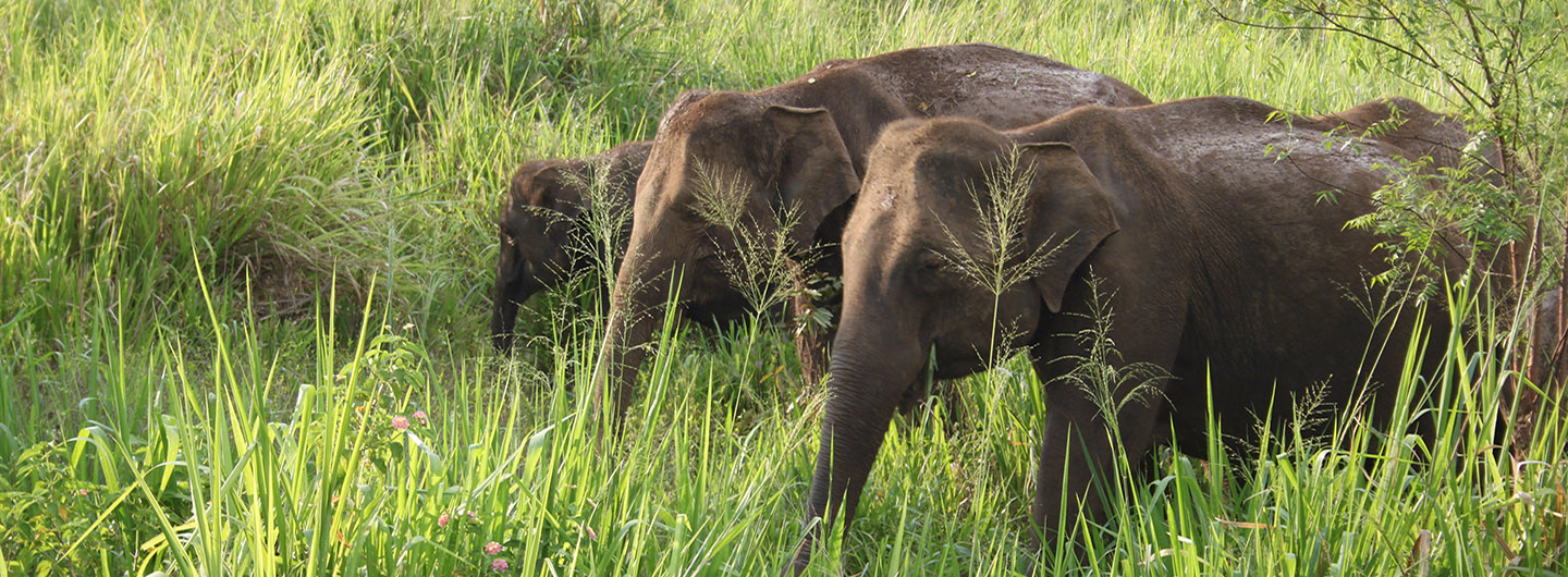 Elephants grazing on a Sri Lankan Safari adventure